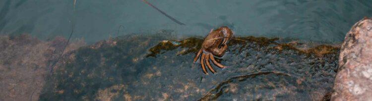 Krabbe im Wasser